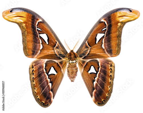 Fotobehang Fyle Attacus Atlas giant moth of Indonesia