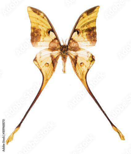Fotobehang Fyle Malaysian moon moth isolated on white