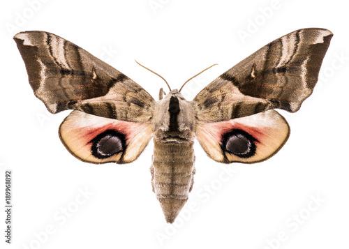 Aluminium Fyle Eyed hawk-moth isolated on white