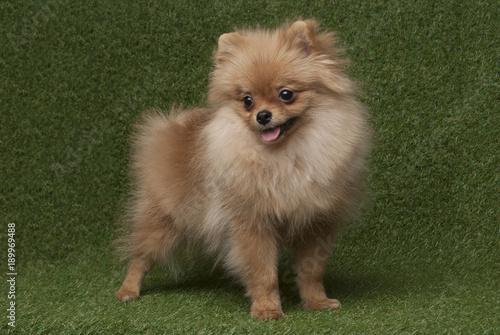 Сute funny spitz dog standing in grass background