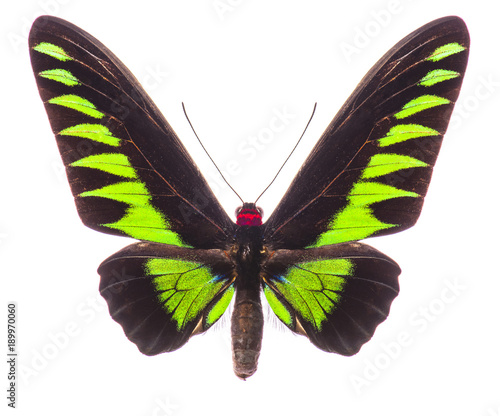 Fotobehang Fyle Male Rajah Brooke's birdwing isolated on white