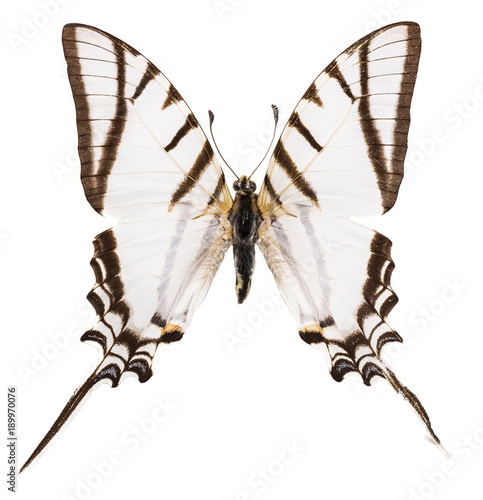 Fotobehang Fyle Protesilaus protesilaus swallowtail isolated on white