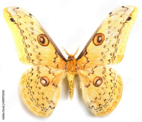 Fotobehang Fyle Loepa megacorei moth isolated on white
