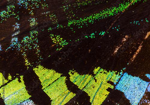 Fotobehang Fyle Green-banded urania (Urania leilus) wing macro