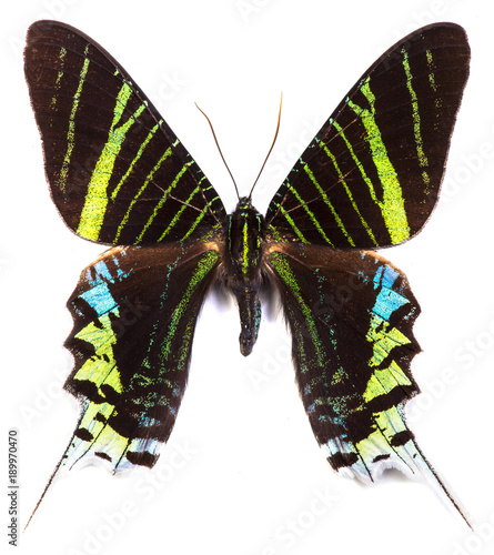 Fotobehang Fyle Green-banded urania (Urania leilus) butterfly isolated