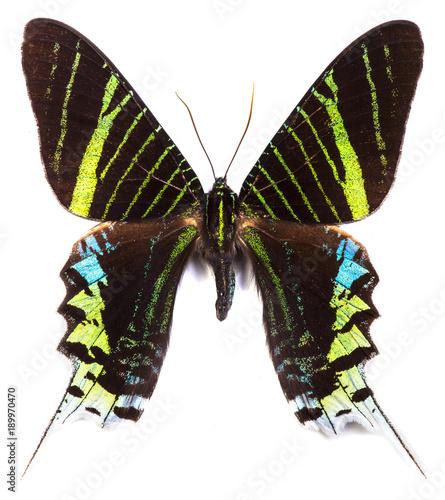 Aluminium Fyle Green-banded urania (Urania leilus) butterfly isolated