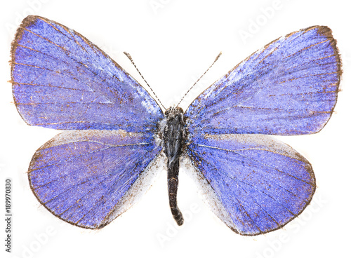 Aluminium Fyle Common blue butterfly isolated on white
