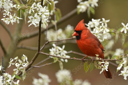 Foto op Aluminium Natuur Red Male Cardinal in spring flowers