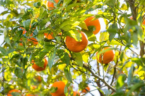 orange tree in day sunlight