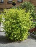 Bosquet de bambous sur une terrasse