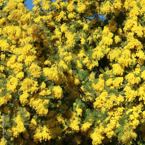 Sticker Mimosa en fleurs