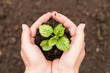 a young, green sprout and a handful of earth in female hands, a spring, sunny garden, the concept of ecology.