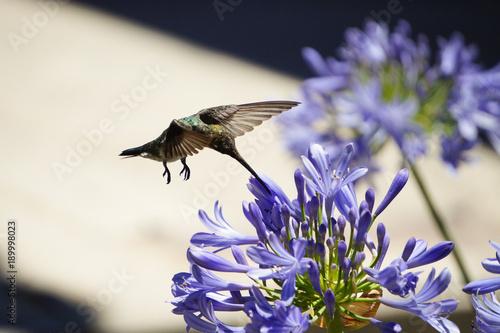 zwierzęta; ptaki, colibri