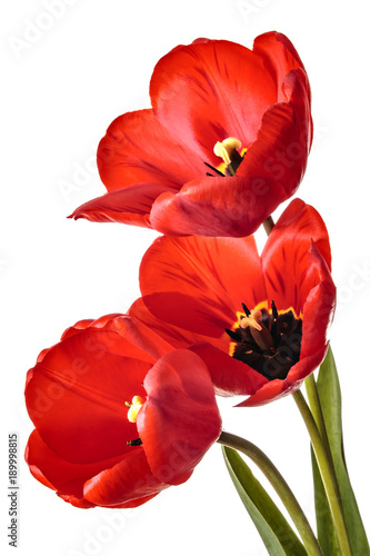 Isolated tulip flowers on a white background