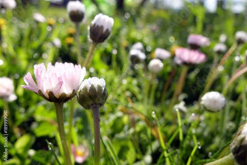 Tuinposter Planten Bellis perennis
