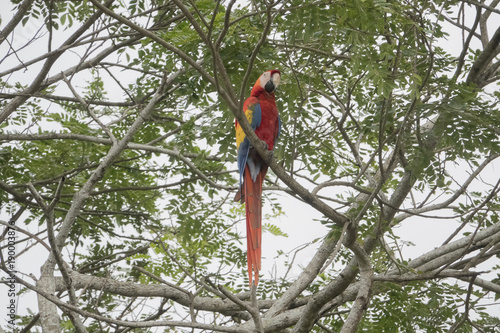 Red Macaw 001