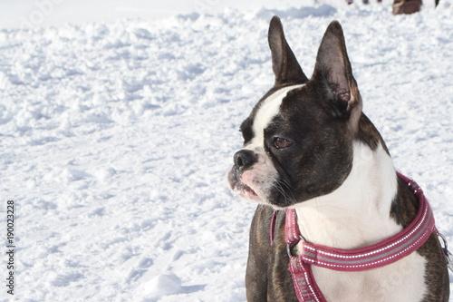 Foto op Plexiglas Franse bulldog Italy, Trentino, Folgaria. Mountain, nice French bulldog plays on the ski slopes with his owner