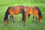 two brown horses grazing - 190024613