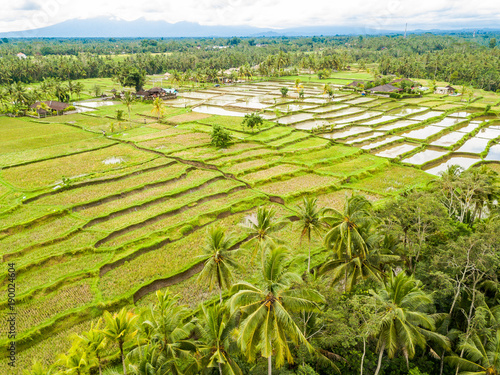 Foto op Canvas Pistache The Rice-fields In Ubud on the island of Bali In Indonesia