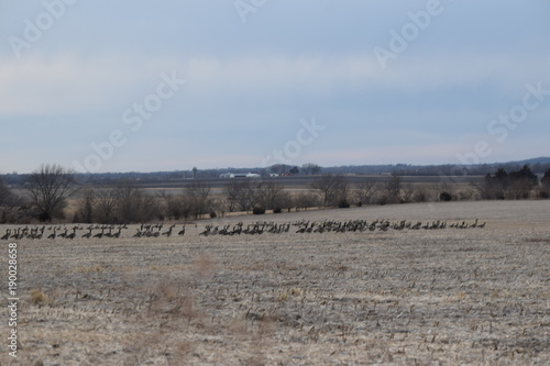 Aluminium Donkergrijs Geese in a Field