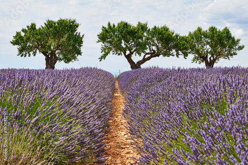 Foto op Plexiglas Lavendel Landscape of Provence with lavender