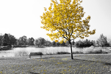 Yellow Tree Over Park Bench