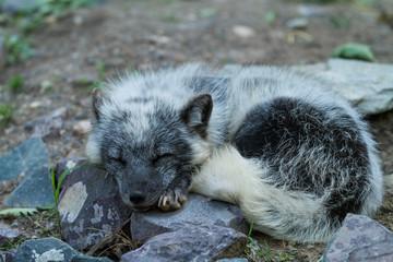 Polar Fox Animal