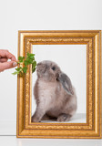 rabbit decorative gray in a gold frame frame. - 190053686