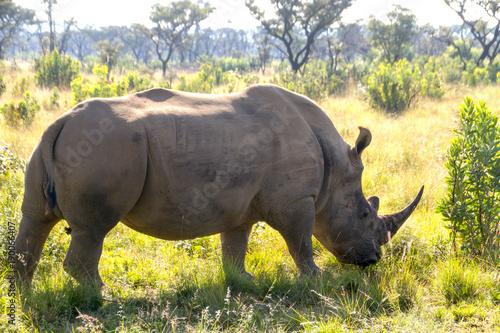 Fotobehang Neushoorn Grazing rhino