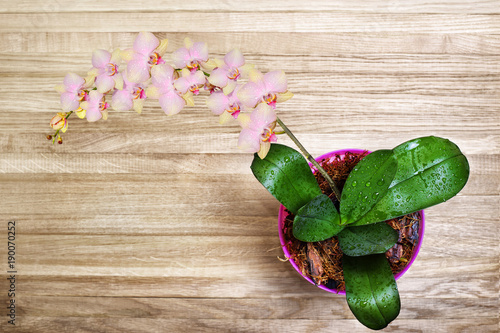 delicate-pink-blooming-flowers-of-orchids-phalaenopsis-with-drops-of-dew-on-flowers-and-leaves-on-a-wooden-background