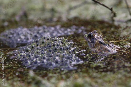 Fotobehang Kikker Common Frog watching over a mass of frogspawn in a garden pond