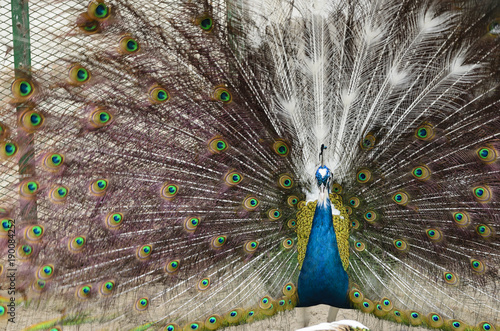 Fotobehang Pauw Peacock with spread feathers
