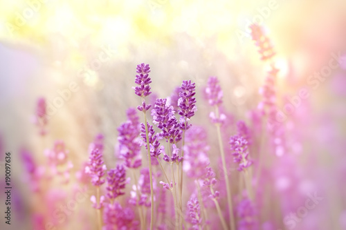Fotobehang Lavendel Soft focus on lavender flower, lavender flowers lit by sunlight