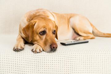 golden retriever dog lying on sofa with tv remote control