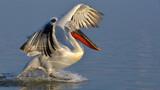Dalmatian Pelican (P...