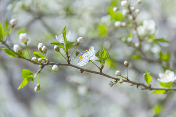 Spring flowers on branches of a cherry tree