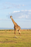 Giraffe walk on the savannah