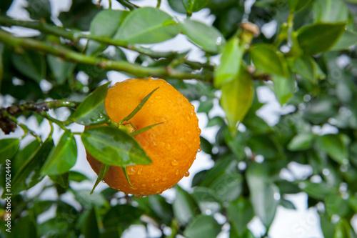 dojrzale-pomaranczowe-owoc-na-pomaranczowym-drzewie