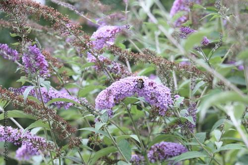 Foto op Canvas Lavendel bourdon
