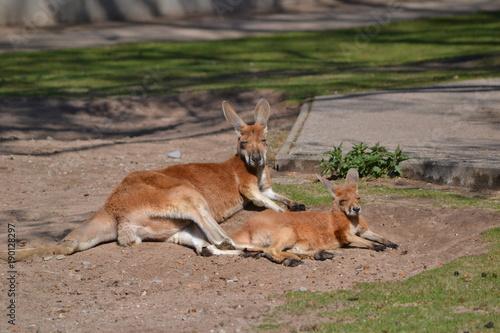 Fotobehang Kangoeroe Känguru