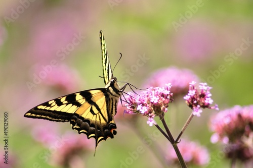 Fotobehang Vlinder Oregon SwallowTail in the Summer