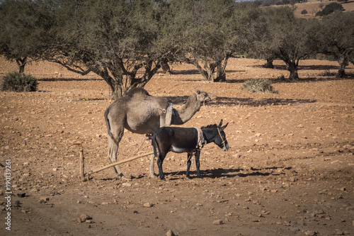 Foto op Canvas Marokko Donkey and Camel standing side by side, tethered