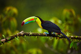 Portrait of Keel-billed Toucan (Ramphastus sulfuratus) perched on branch at Tropical Reserve. In Costa Rica. Wildlife bird - 190156013