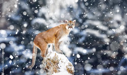 Fotobehang Leeuw Portrait of a cougar, mountain lion, puma, Winter mountains. Winter scene in wildlife America, snow storm, snowfall