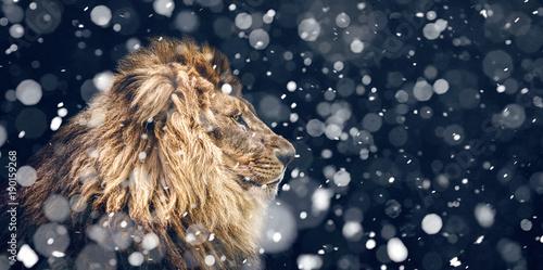 Leinwandbild Motiv Portrait of a Beautiful lion, snowfall is coming