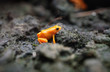 Macro close up of a  golden mantella aurantica in a natural environment with rocks