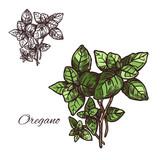 Oregano seasoning vector sketch plant icon - 190163488