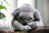 Sleeping koala closeup - 190167649