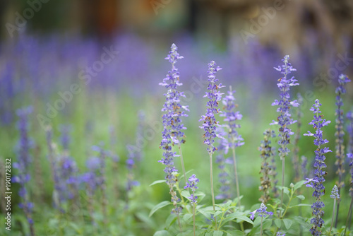 Fotobehang Lavendel Blue salvia purple flowers, ornamental plants spring.