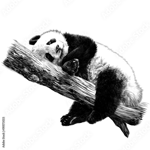 Fototapeta Panda lies sleeping on a branch sketch vector graphics monochrome black-and-white drawing
